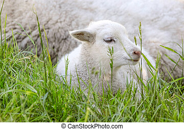 Little lamb in the green grass - Little lamb in the grass...