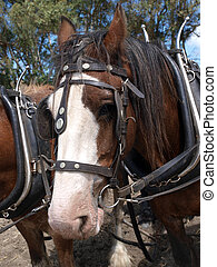 Clydesdale in Harness - Close up of a Clydesdale in working...