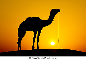 Silhouette camel at sunset , India.