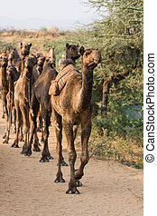 Camel at the Pushkar Fair , India - Camel at the Pushkar...