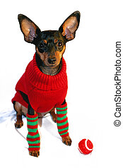 Christmas Minpin with Ball - Miniature Pinscher in red...
