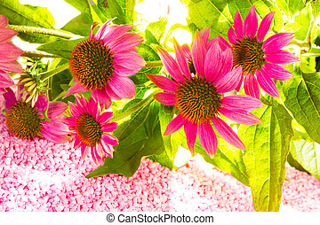 Beautiful purple Echinacea flowers - Bunch of beautiful...