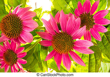 Echinacea purpurea flowers - Close up of Echinacea purpurea...