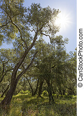 Old olive trees in Greece with sun