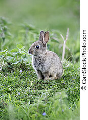Rabbit, Oryctolagus cuniculus, single young mammal in grass,...