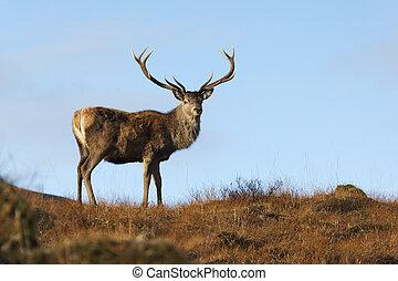Red deer, Cervus elaphus, single male, Glen Garry, Scotland,...