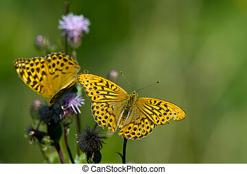 The Silver-washed Fritillary (Argynnis paphia) - The couple...