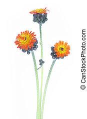 Pilosella aurantiaca or Orange Hawkweed Flower (Hieracium aurantiacum)