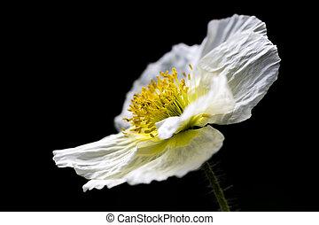 White Iceland poppy (Papaver nudicaule) - White Iceland...