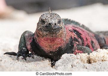 Closeup of Galapagos marine iguana - Galapagos marine iguana...