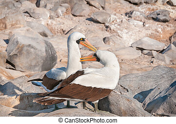 Nasca Boobies preening each other - Pair of Nazca Boobies in...
