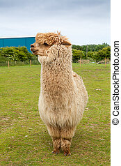Single alpaca showing its thick fleece - Single alpaca...