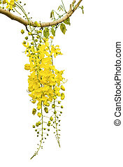 Golden Flower or Cassia Fistula isolated on white...