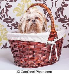 Shih Tzu - Pretty young shih tzu on in a basket against a...