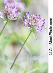 Blooming red clover (Trifolium), closeup with shallow DOF