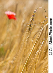 Barley (Hordeum vulgare) outside in a field