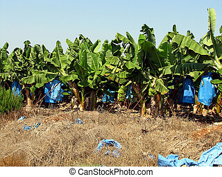Banana plantation - Banana trees on the agricultural...