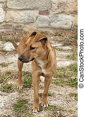 Domestic dog - Yellow domestic dog outdoor