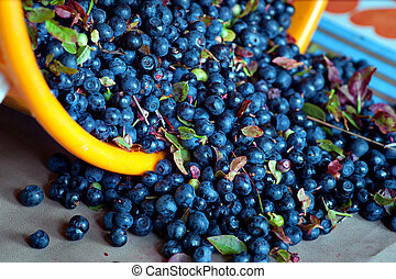 wild blueberries - bucket full of wild blueberries picked in...