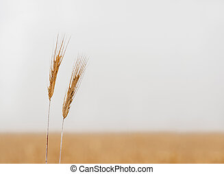 ear of wheat - sparse image with ear of wheat on field