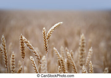field with golden wheat