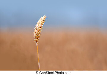 ear of wheat - close up of ear of golden wheat in early...