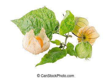Physalis - Cape gooseberry physalis fruit on white...