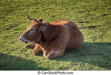 enormous brown cow resting lying in boil it
