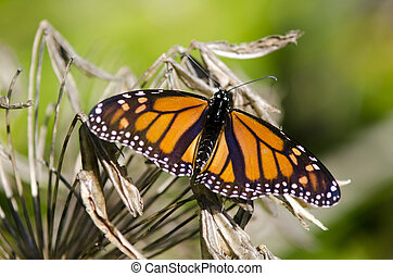Monarch butterfly sit on a dry flower in a hot day.