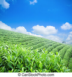 green tea plantation with blue sky background