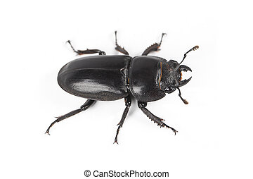 ground beetle with white background
