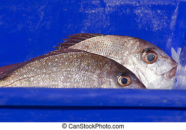 Snapper fish - Two fresh Snapper fish in a blue box with ice...
