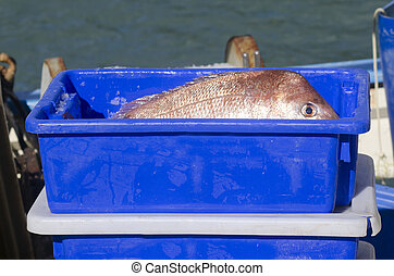 Snapper fish - A fresh Snapper fish in a blue box with ice...