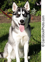 Siberian Husky - A beautiful purebred female siberian huskey...