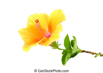 Chinese rose, Orange Hibiscus flower on white background....