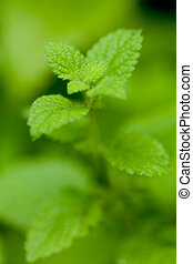 fresh green aromatic mint lemon balm peppermint macro...