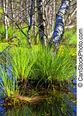 Tufted sedge - Birch - Tufted sedge and bog birch trees in...