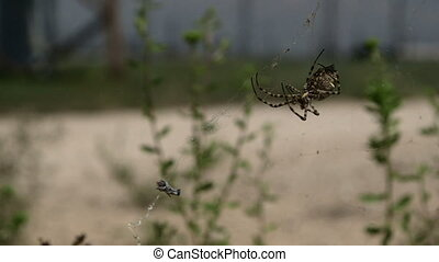 Spider eating on its web