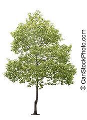 pequeno, árvore