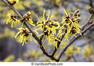 witch hazel - hamamelis flower in full bloom in february