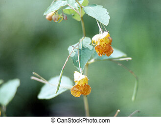 Jewel Weed/Touch-me-not H-2054 - Jewel Weed(Impatiens...
