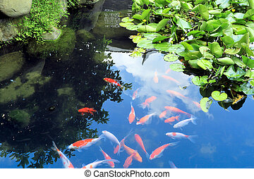beautiful koi or carp chinese fish in water - beautiful koi...