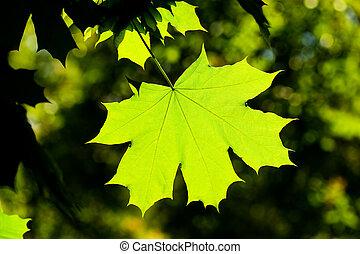 Maple leave, backlit - Green backlit maple leave on a dark...