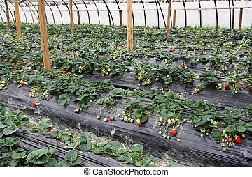 strawberry greenhouses - strawberry grown in the greenhouse...