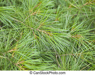 Pine Needles Background - Closeup of pine needles create a...