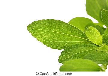 Stevia sweetleaf. - Stevia sweetleaf or sugarleaf isolated...
