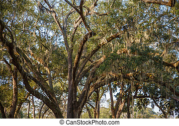 Spanish Moss Draped Over Oak Limbs - Spanish moss draped in...