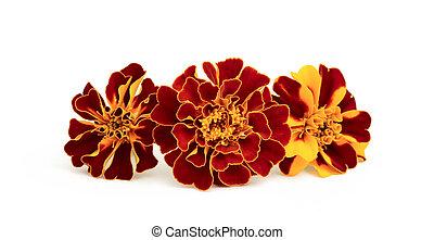 Marigold. - Marigold flowers close-up on white background.