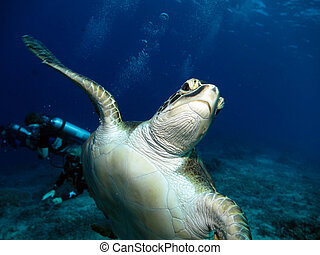 Green Hawksbill Turtle - Green Hawkskbill Turtle with a...