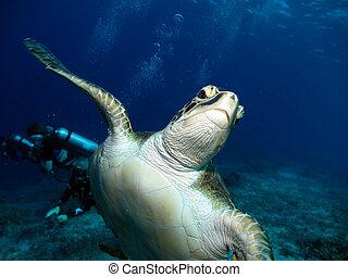 Green Hawksbill Turtle - Green Hawkskbill Turtle with a...